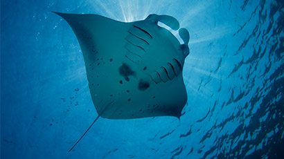 Meet the Mantas