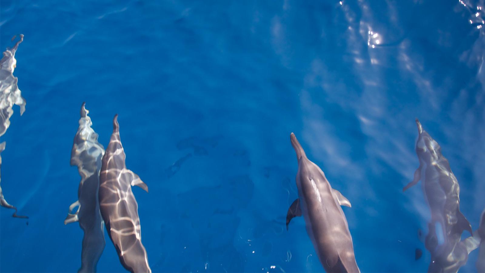 Kuredu Maldives Resort dolphins