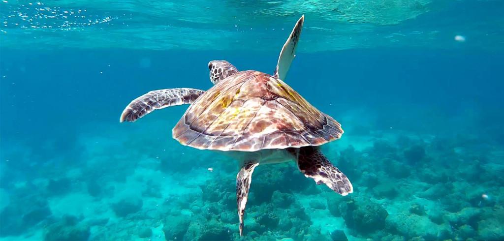 maldives turtles