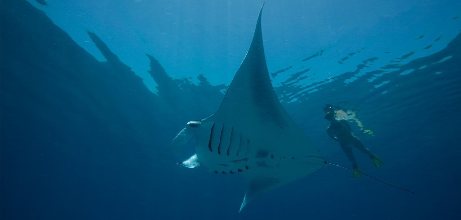 manta snorkel kuredu maldives