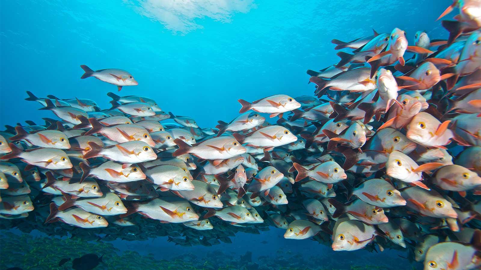 Kuredu Maldives snorkelling