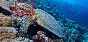 Hawksbill turtle Kuredu