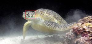 Green sea turtle Kuredu