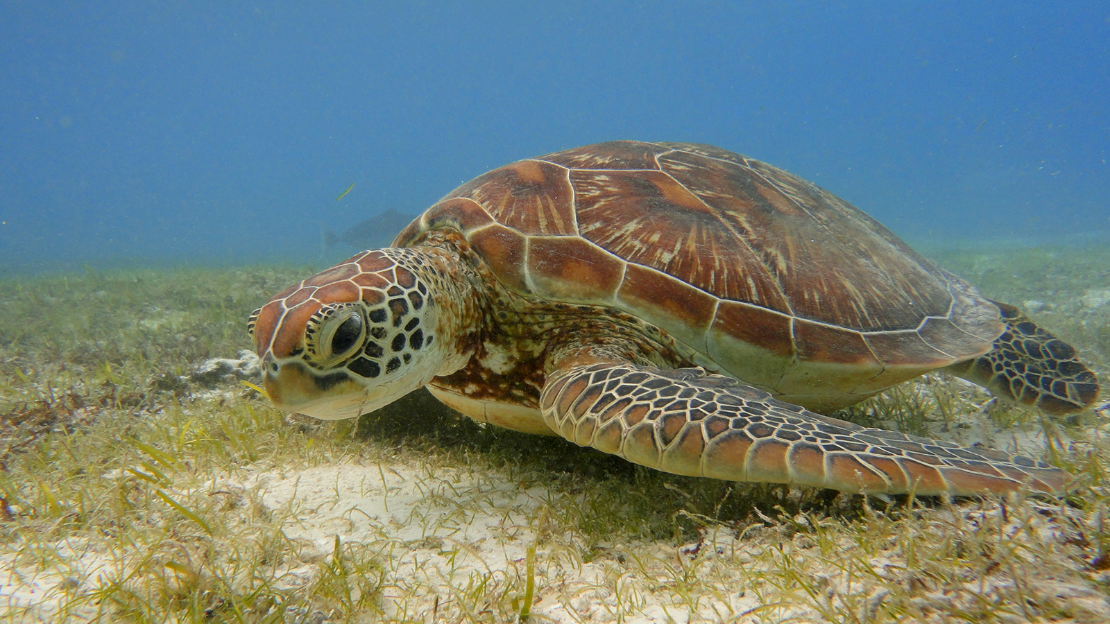 Turtle in Kuredu lagoon