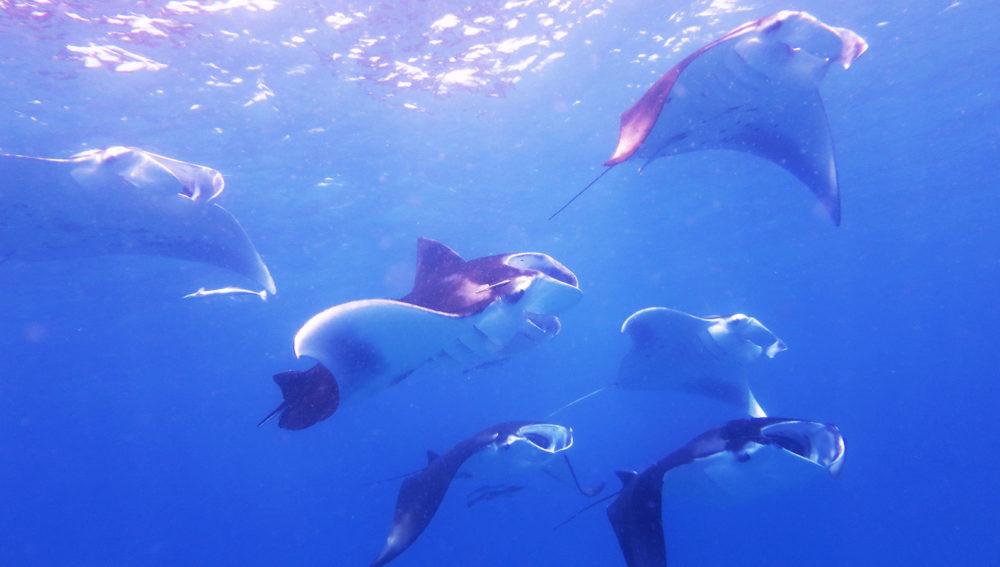 Kuredu Resort Maldives manta rays