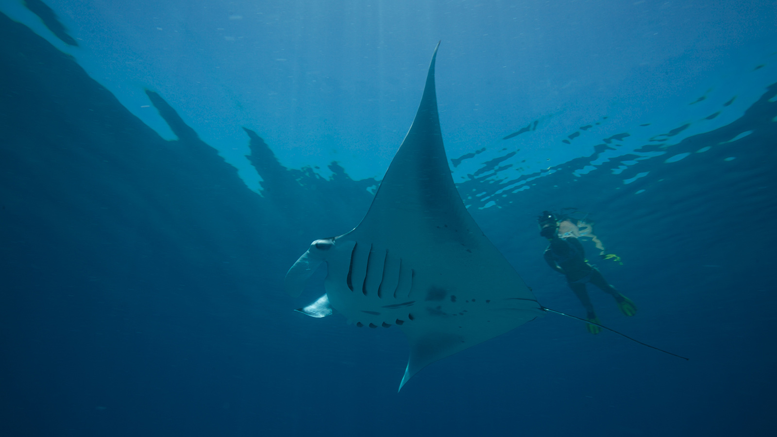 Kuredu Snorkel Manta Maldives