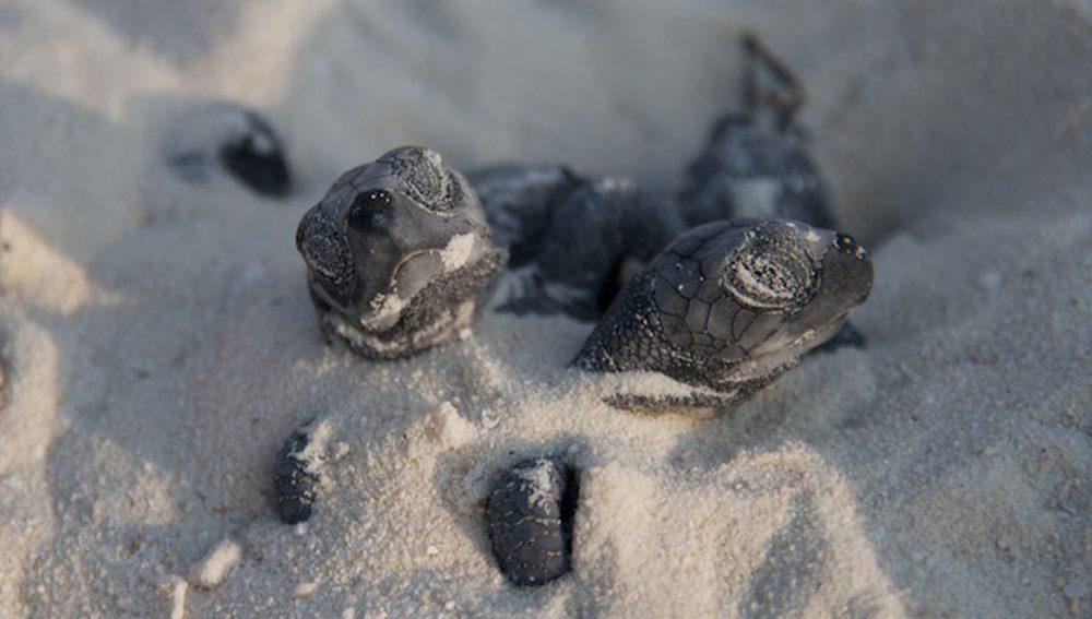 Maldives Hatchling Turtles